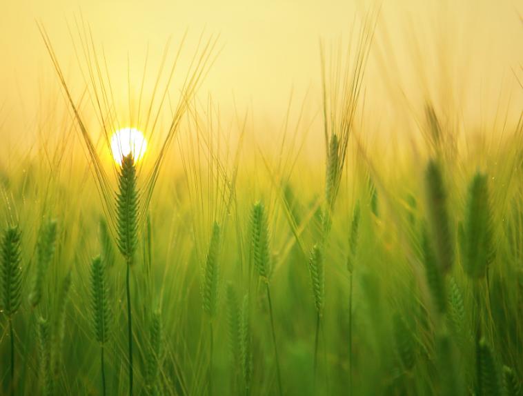 小麦蚜虫防治